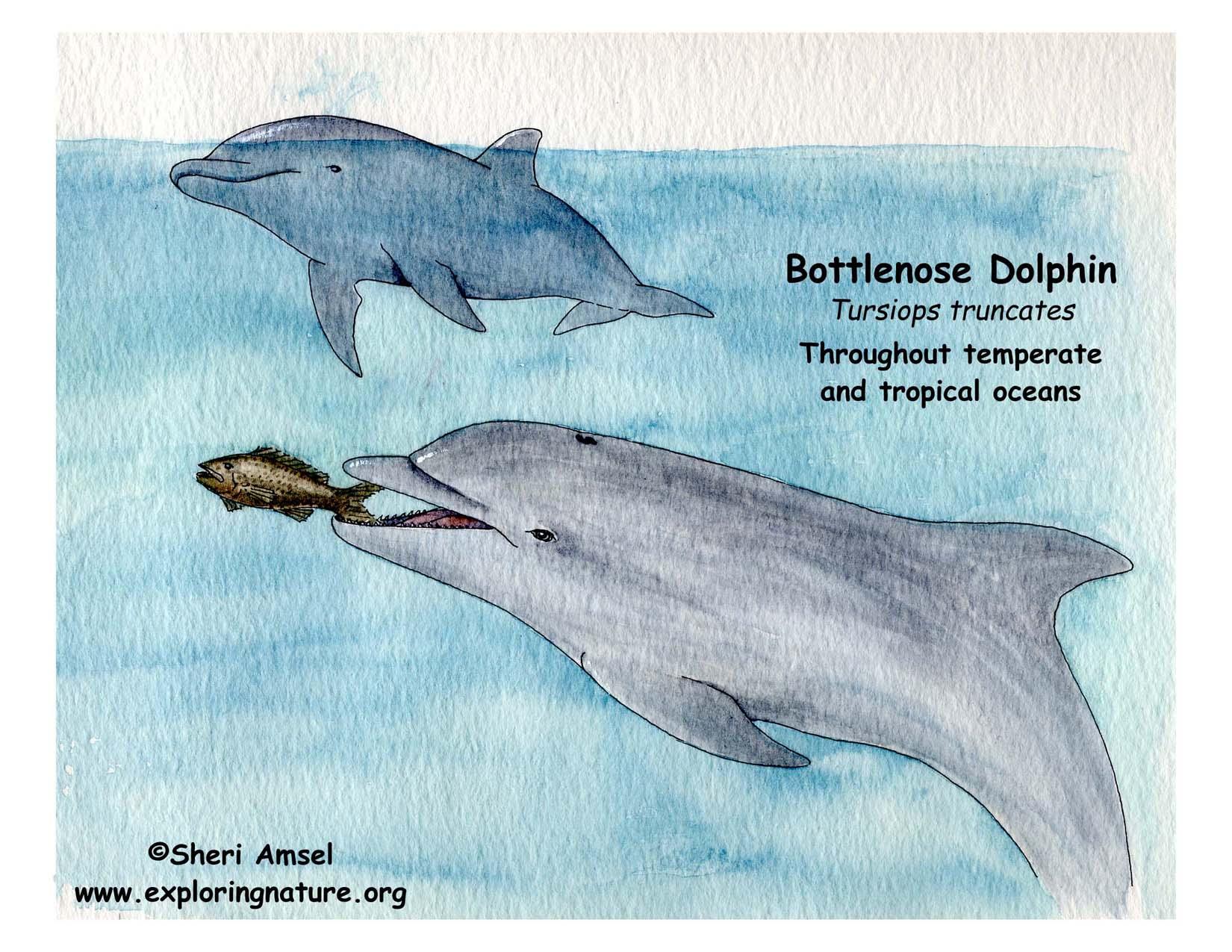 Dolphin  Bottlenose