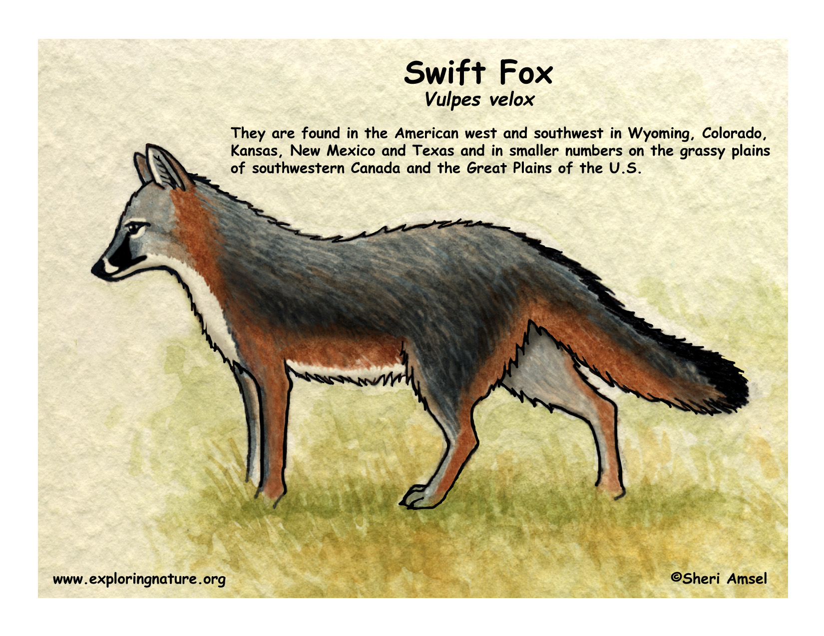 fox  swift