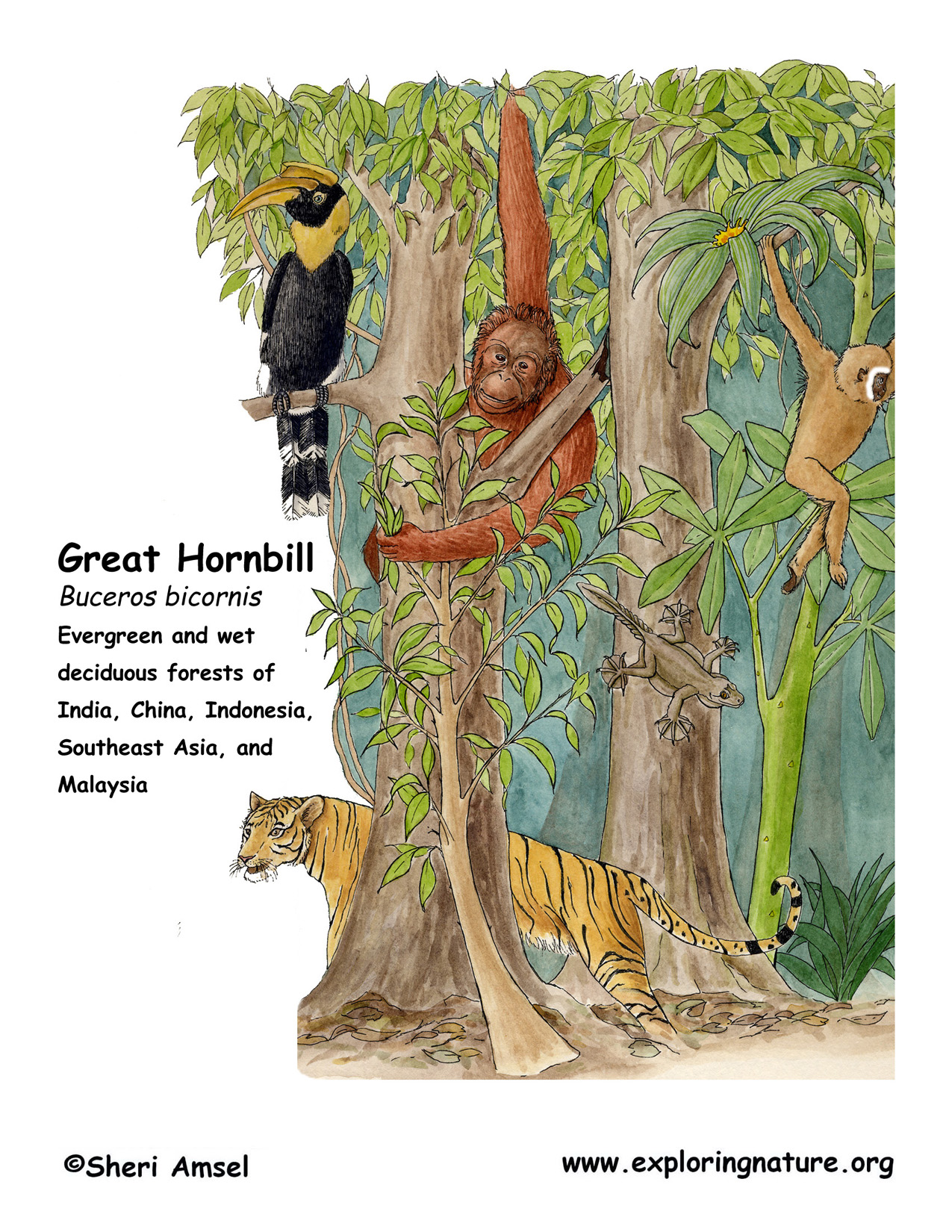 Hornbill (Great)
