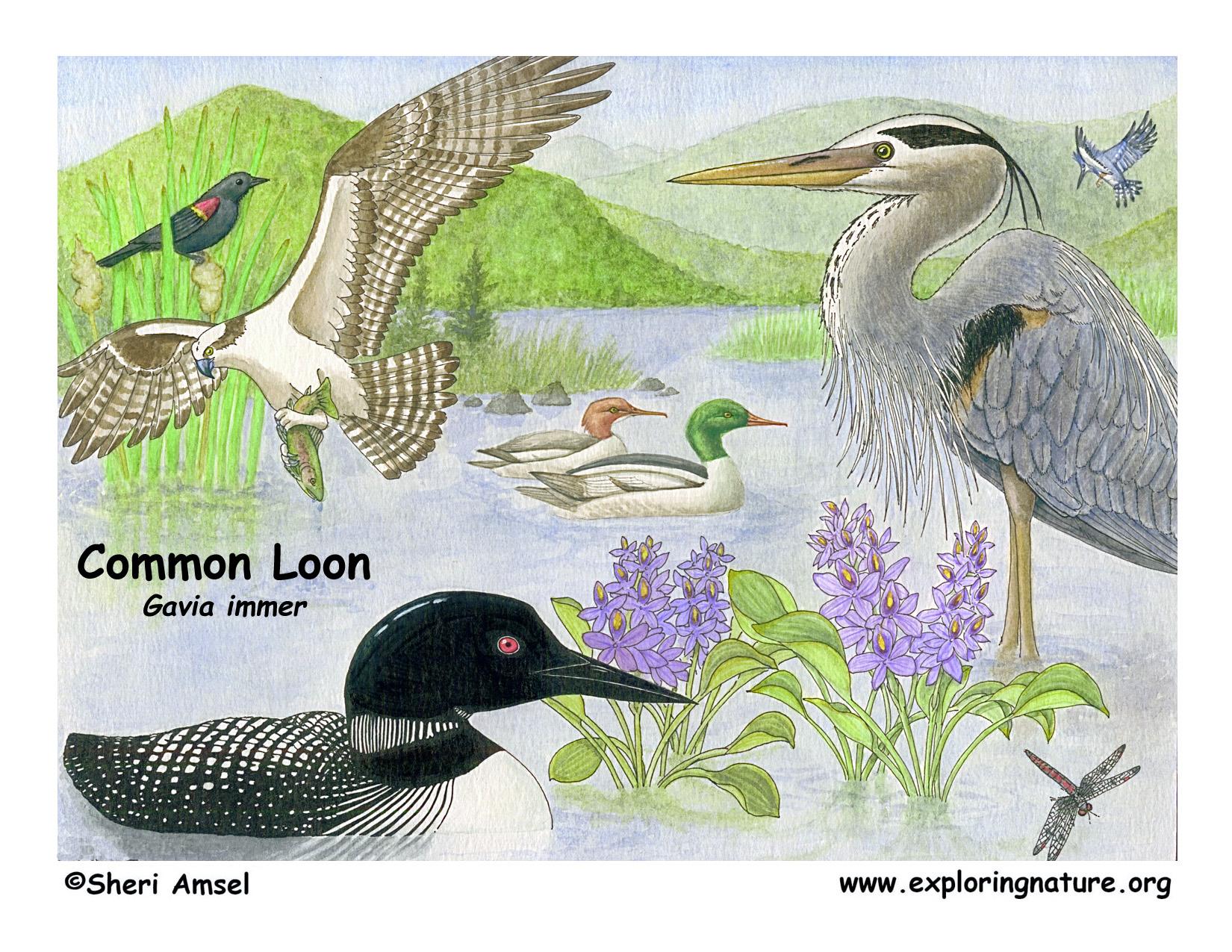 loon  common