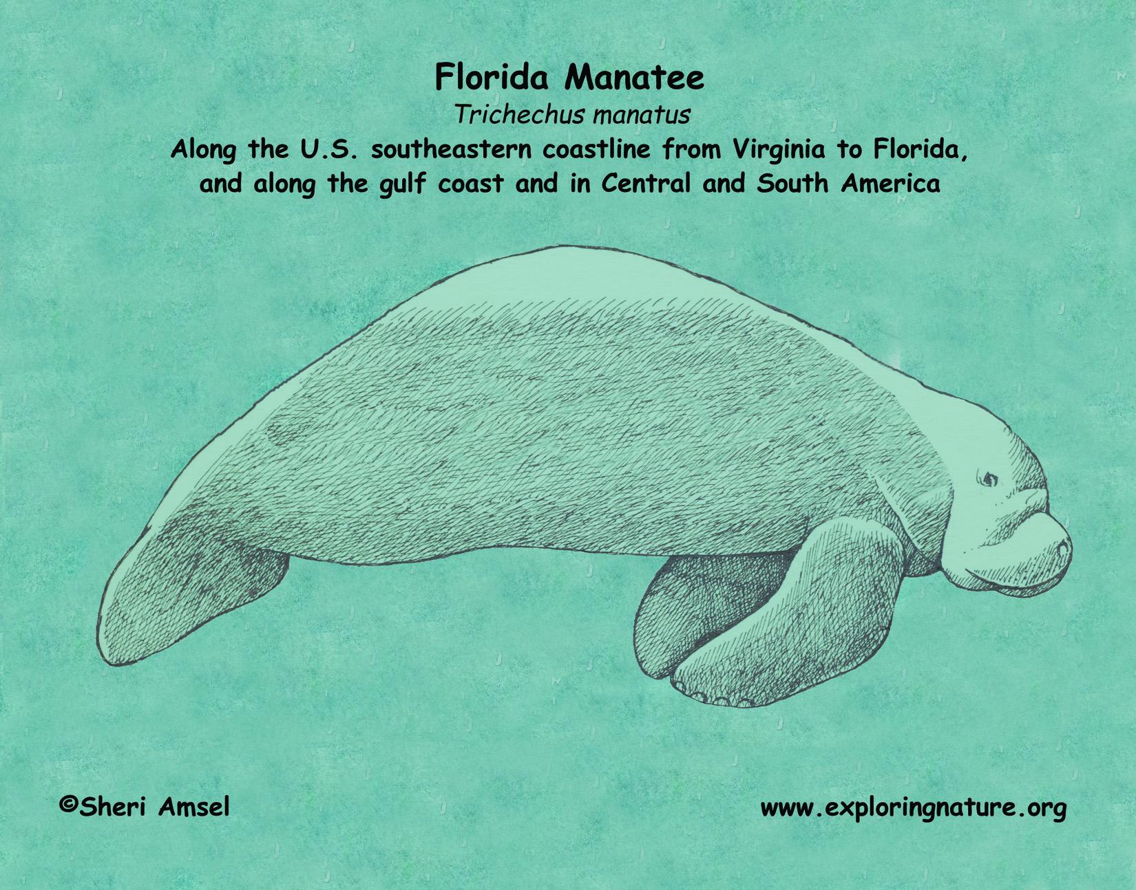 Manatee  Florida