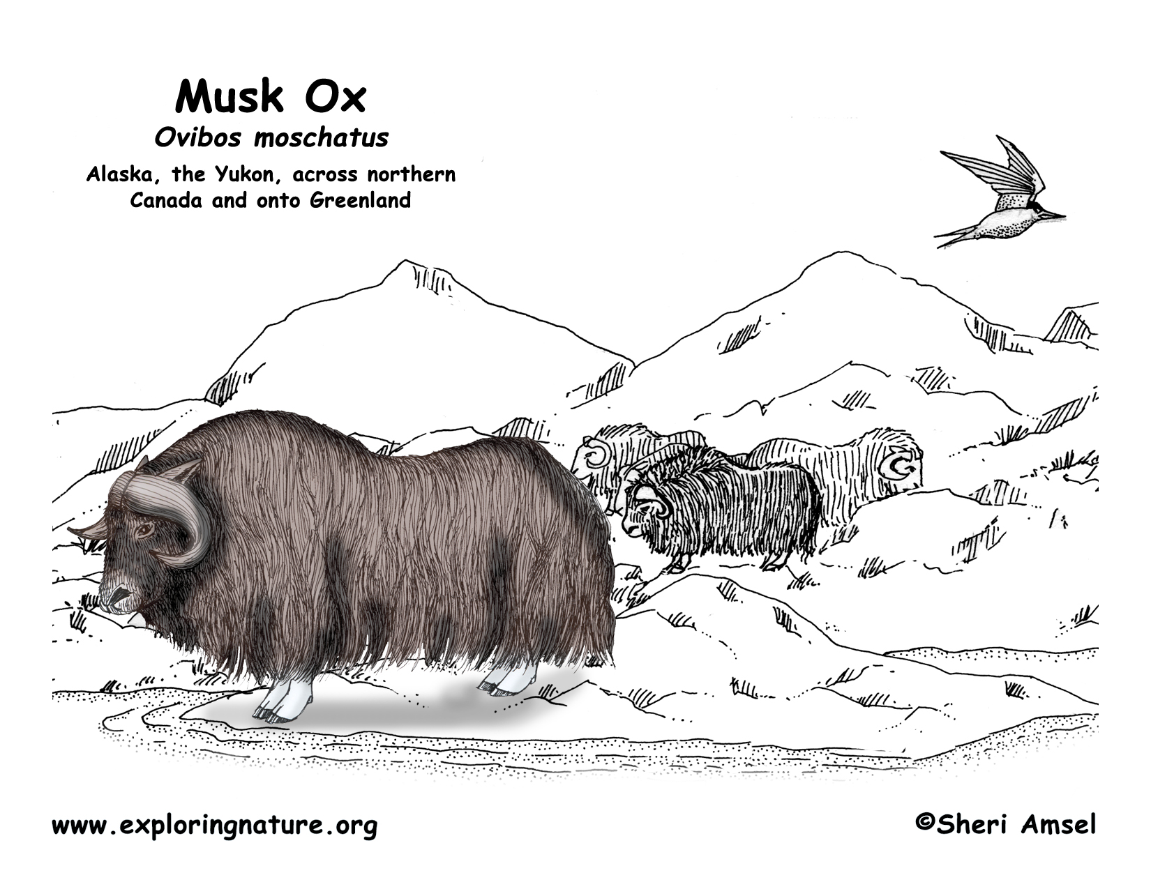 coloring pages of musk ox - photo#35