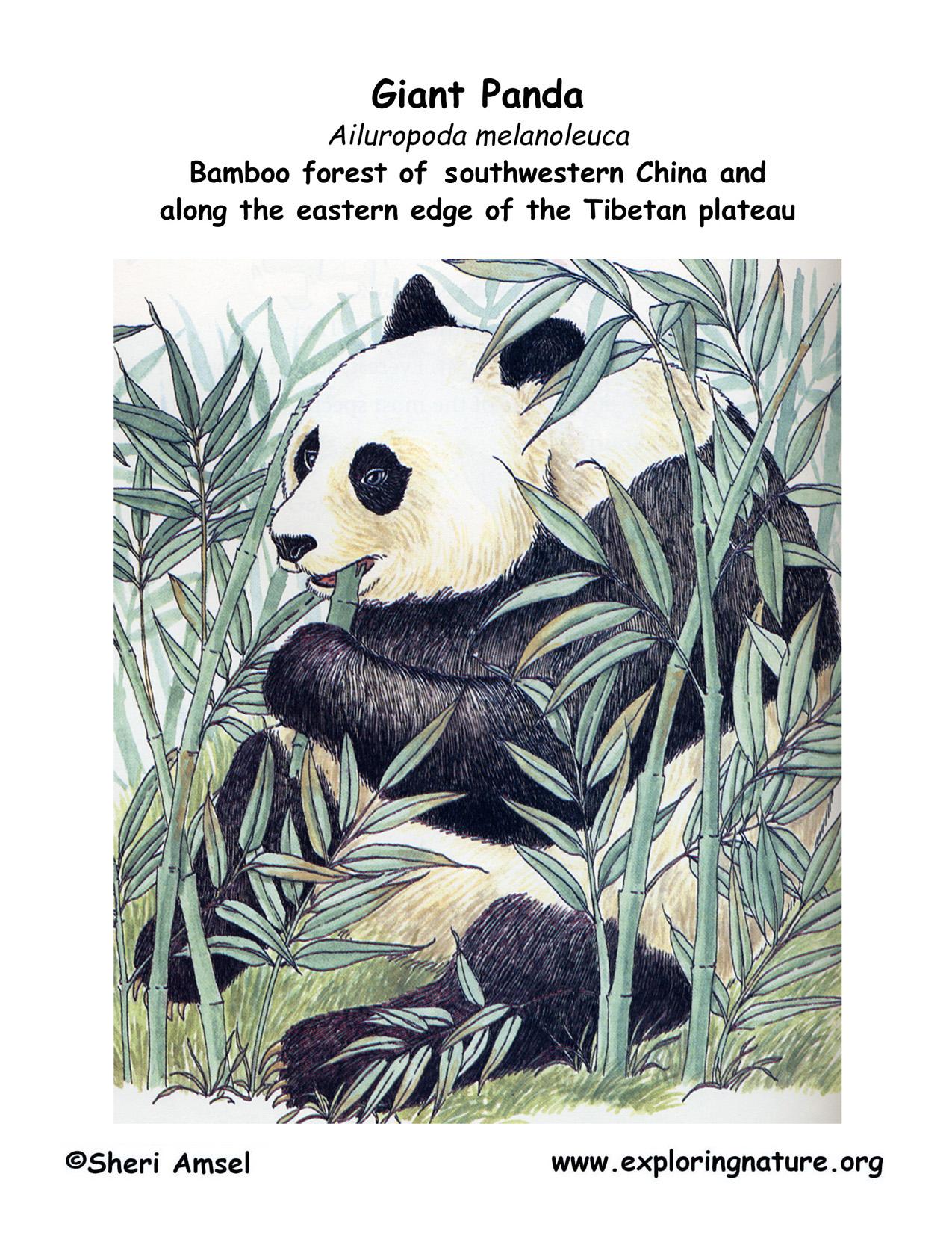 panda (giant)download hi res color diagram panda (giant)