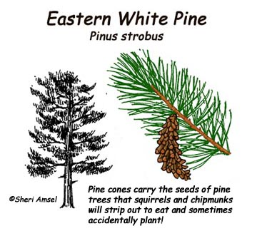 Pine Tree Adaptations