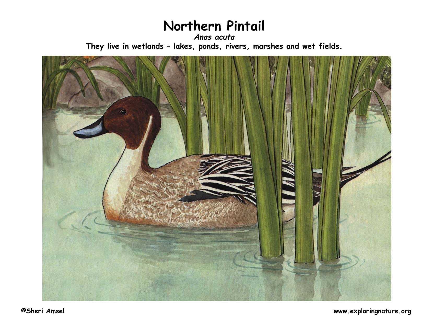 Coloring Pages Pond Animals : Duck northern pintail
