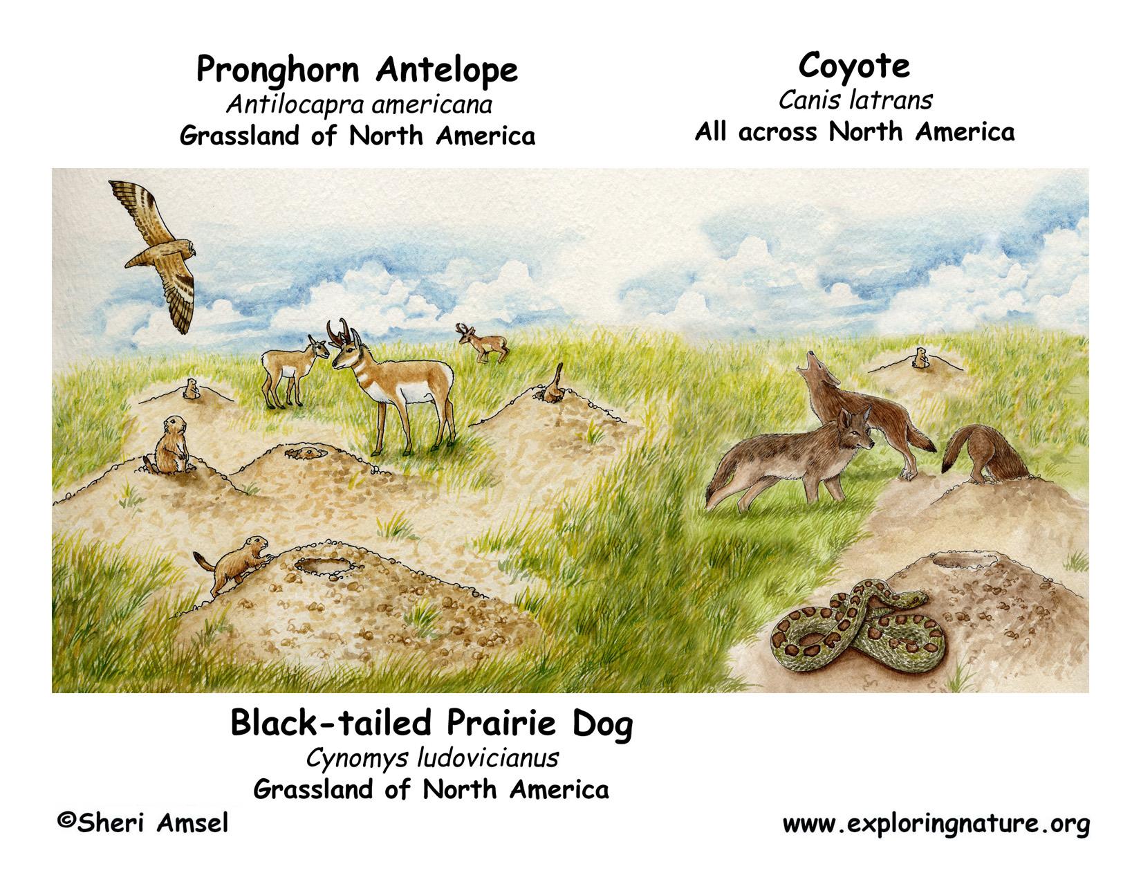 prairie dog black tailed