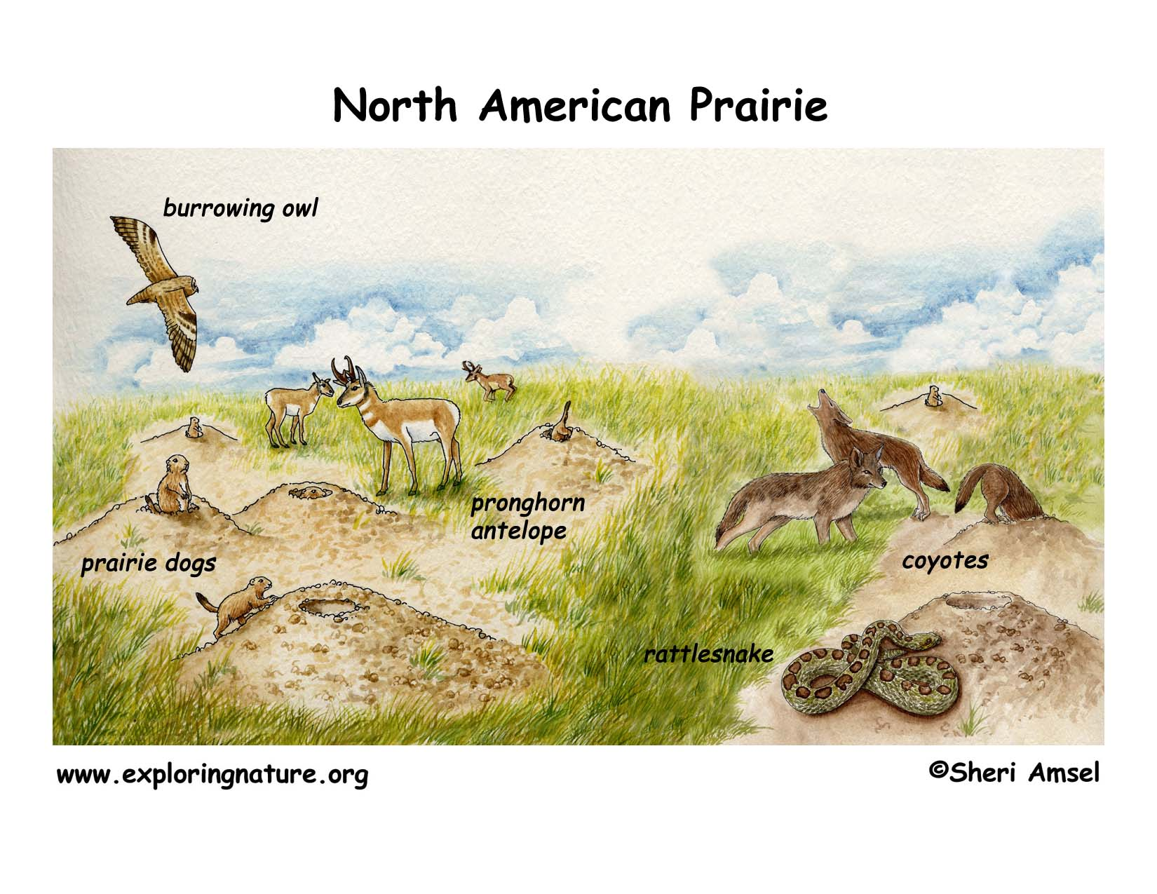 Grassland Ecosystem Diagram Schematic Wiring Diagram