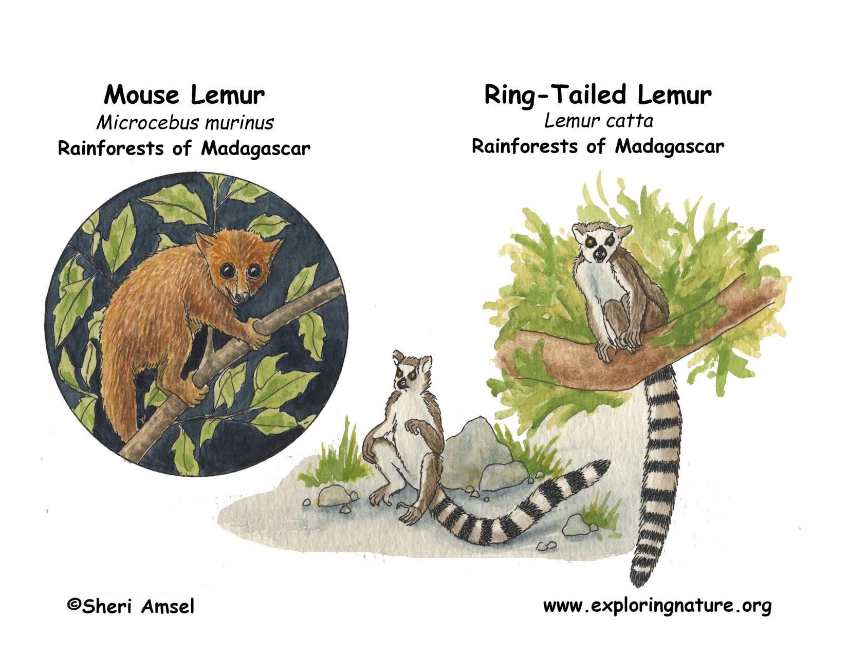 Lemur  Ring