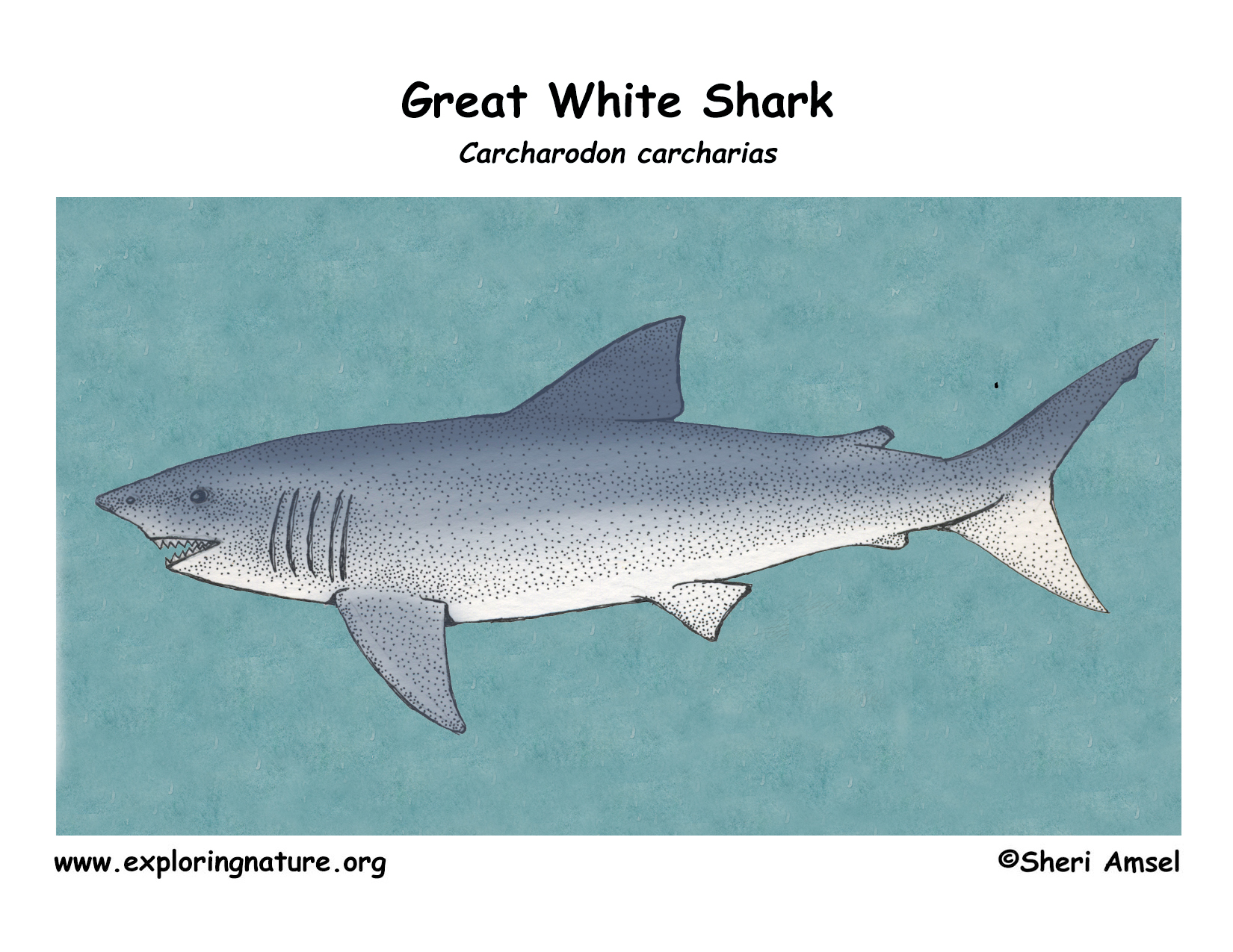 Shark (Great White) for Great White Shark Diagram  570bof