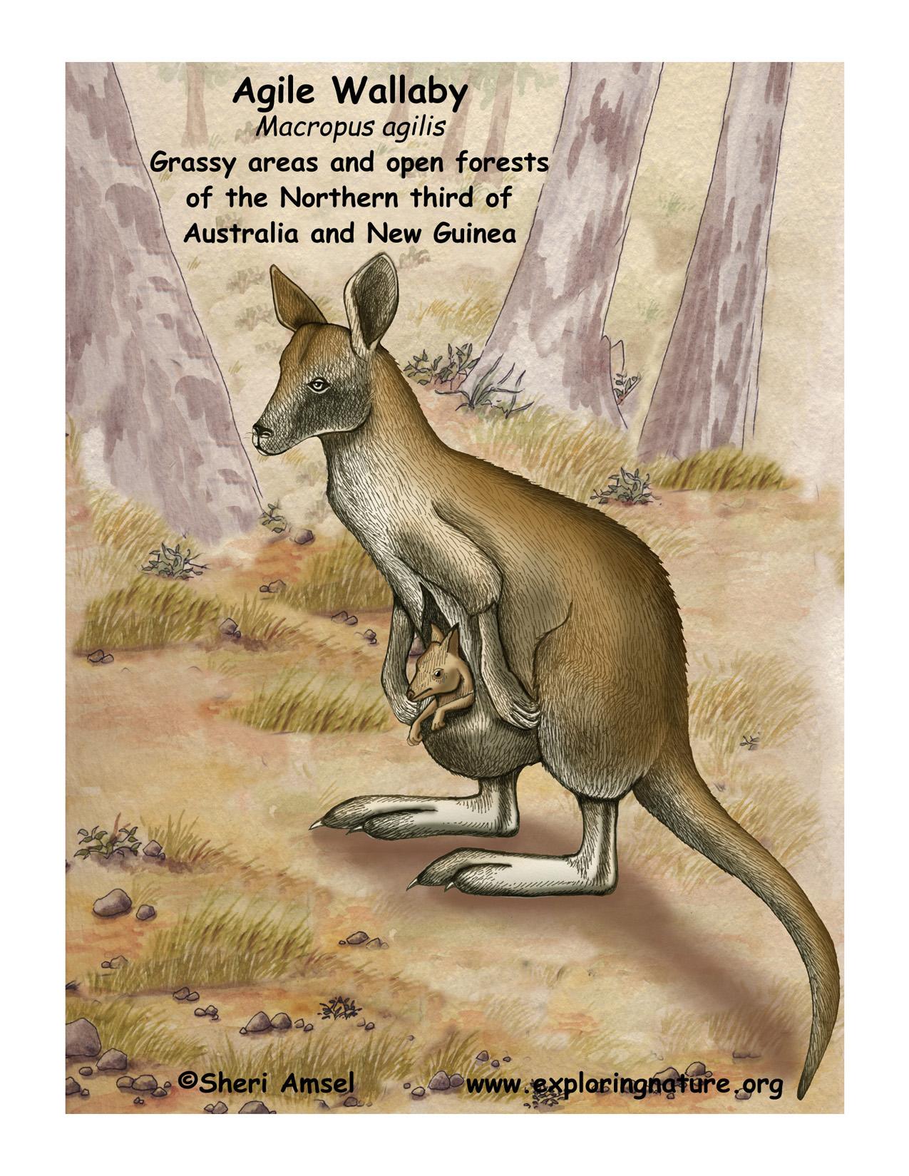 Wallaby agile download hi res color diagram wallaby ccuart Gallery