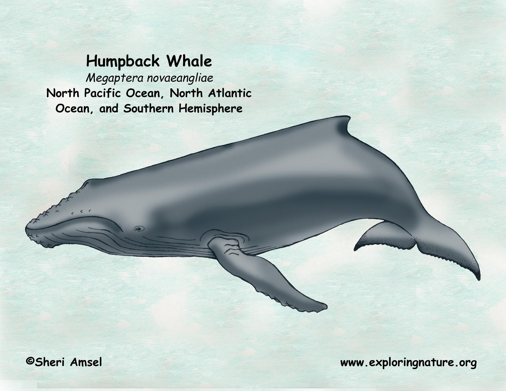 Whale  Humpback