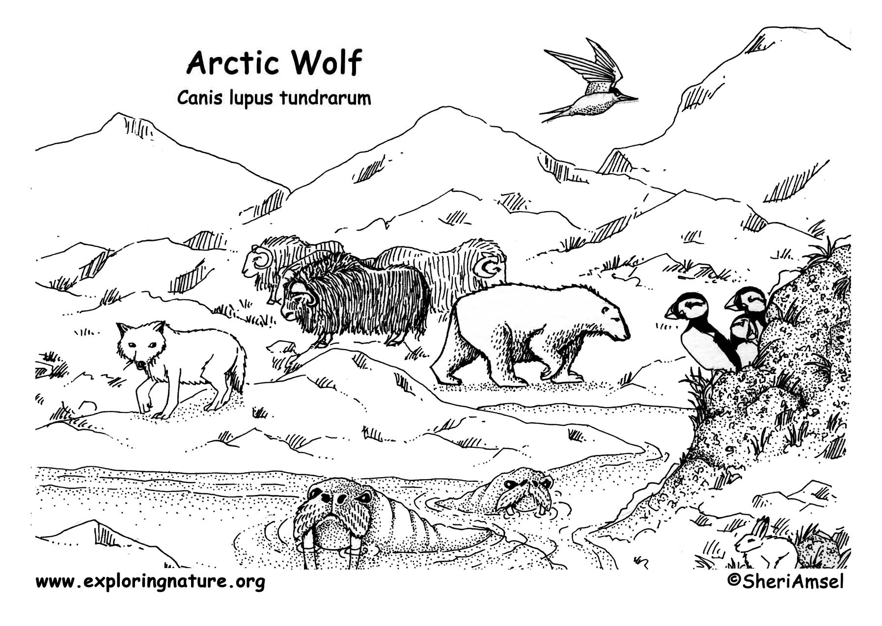 wolf arctic - Arctic Colouring Pages