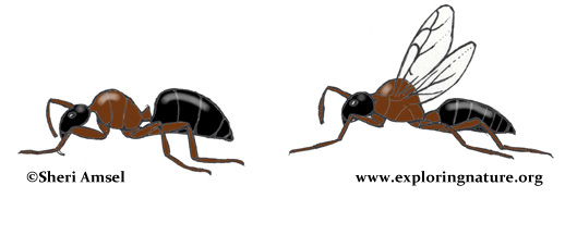 Ants (Carpenter)