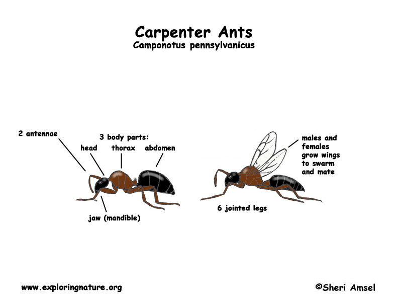 ants  carpenter