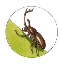 Beetle (Rhinoceros)
