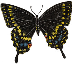 Butterfly (Black Swallowtail)