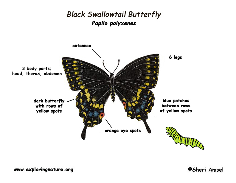 Butterfly Body Parts : Butterfly black swallowtail