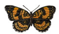 Butterfly (Silvery Checkerspot)