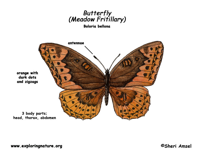 Butterfly (Meadow Fritillary)
