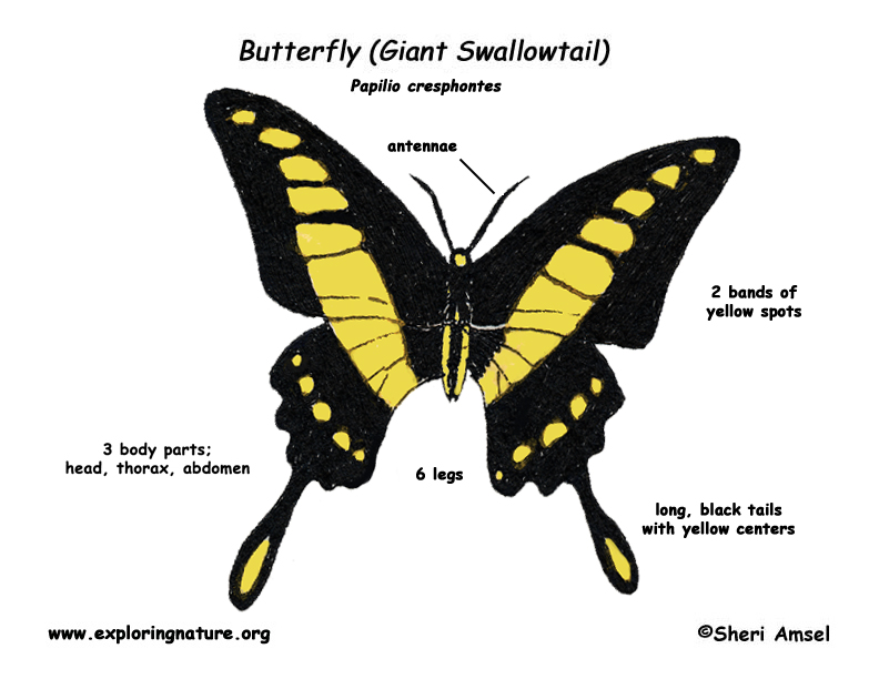 Butterfly (Giant Swallowtail)