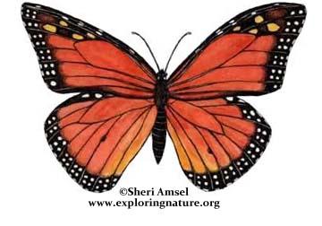 Butterfly (Monarch)