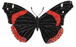Butterfly (Red Admiral)
