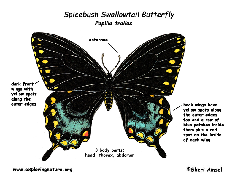 Butterfly Spicebush Swallowtail Rh Exploringnature Org Diagram Parts Of A Anatomy
