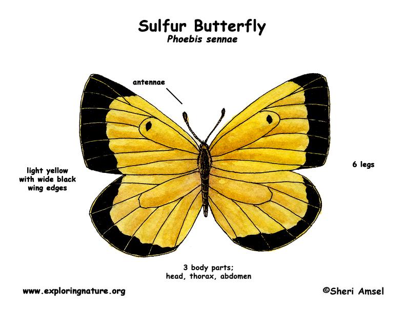 Butterfly (Sulfur)