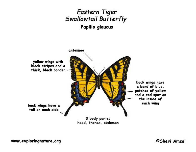 Butterfly  Eastern Tiger Swallowtail