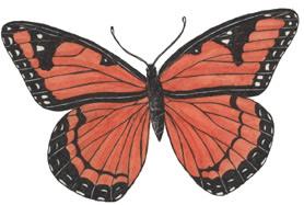 Butterfly (Viceroy)