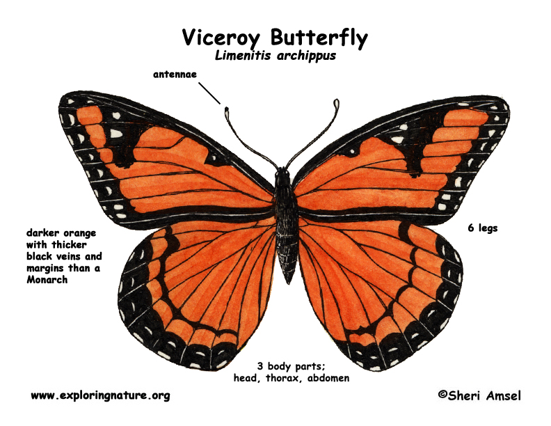 Monarch butterfly body - photo#14