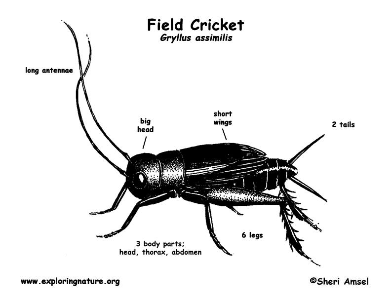Cricket (Field)