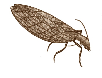Dobsonfly (Eastern)