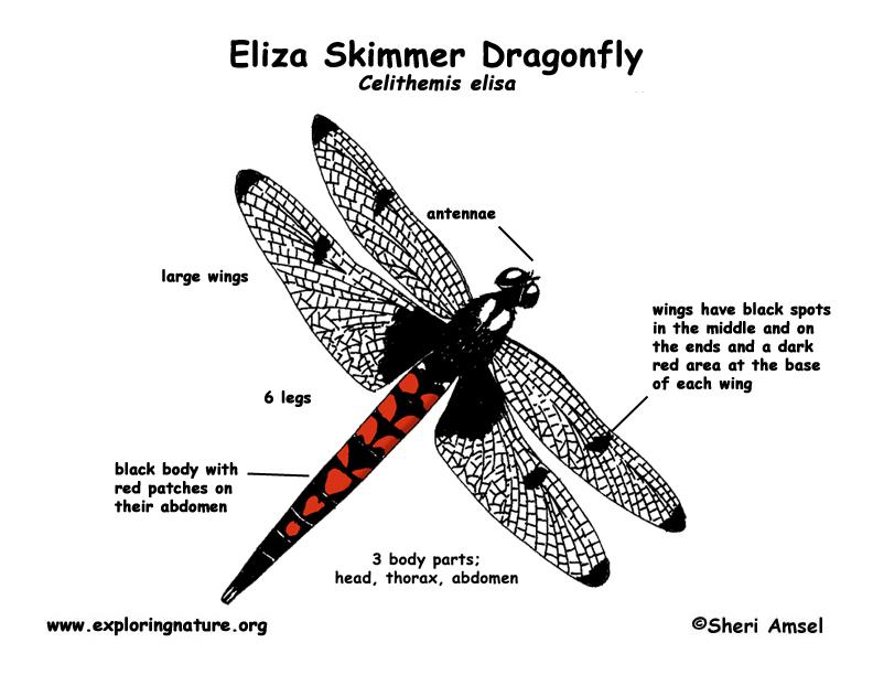 dragonfly  eliza skimmer