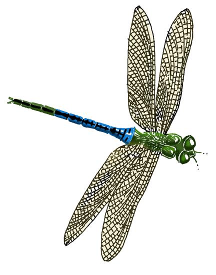 Dragonfly (Green Darner)