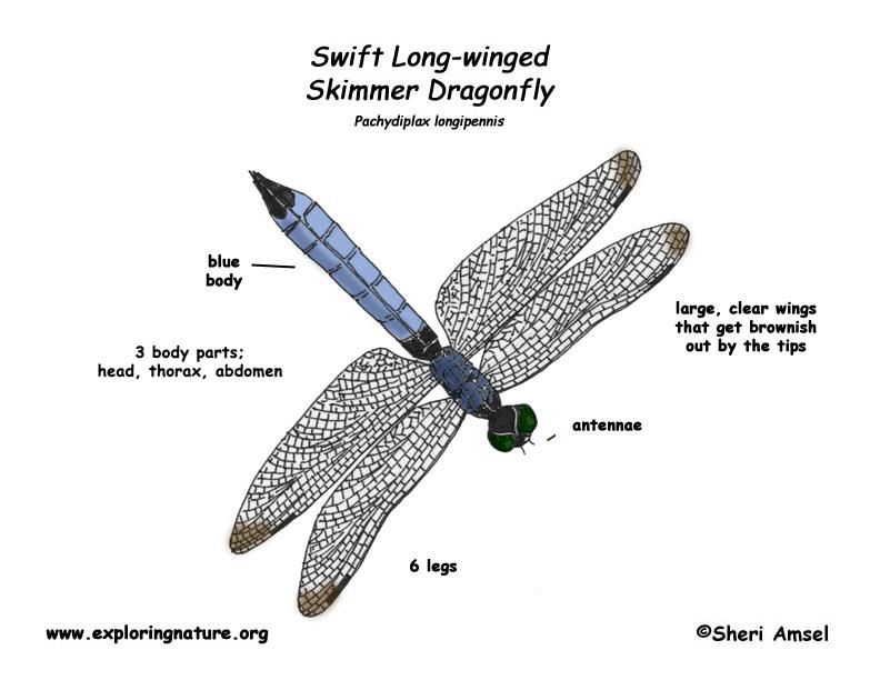 dragonfly  swift long