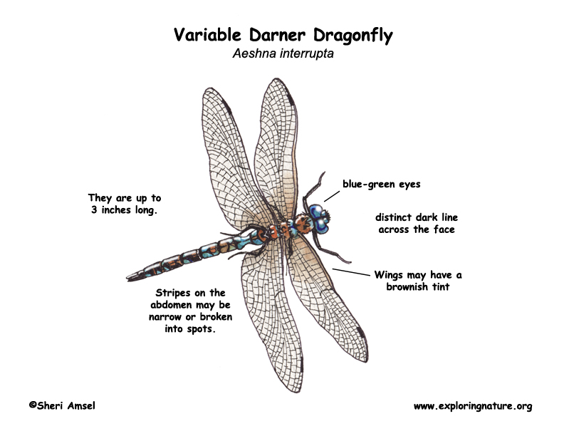 dragonfly  variable darner
