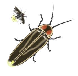 Gyrinidae - Whirligig BeetlesWhirligig Beetle Drawing