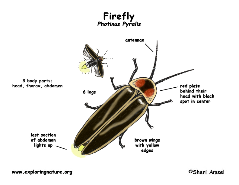 Firefly Bug Diagram