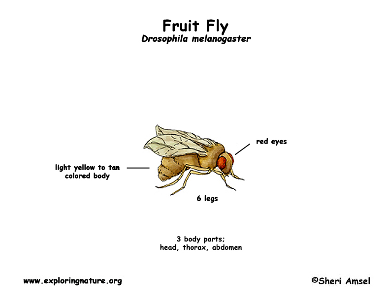 Fruit Fly Anatomy Diagram - Circuit Connection Diagram •