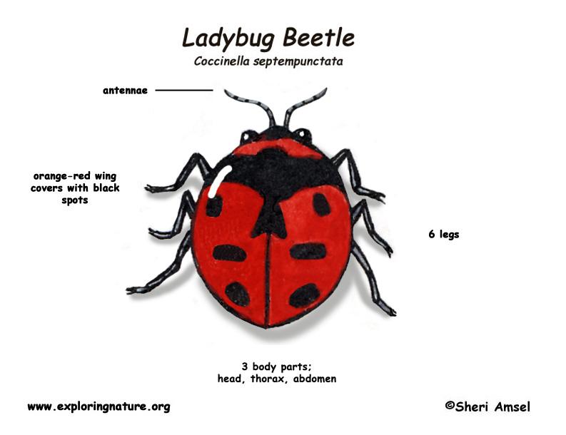 ladybug beetle  ladybug