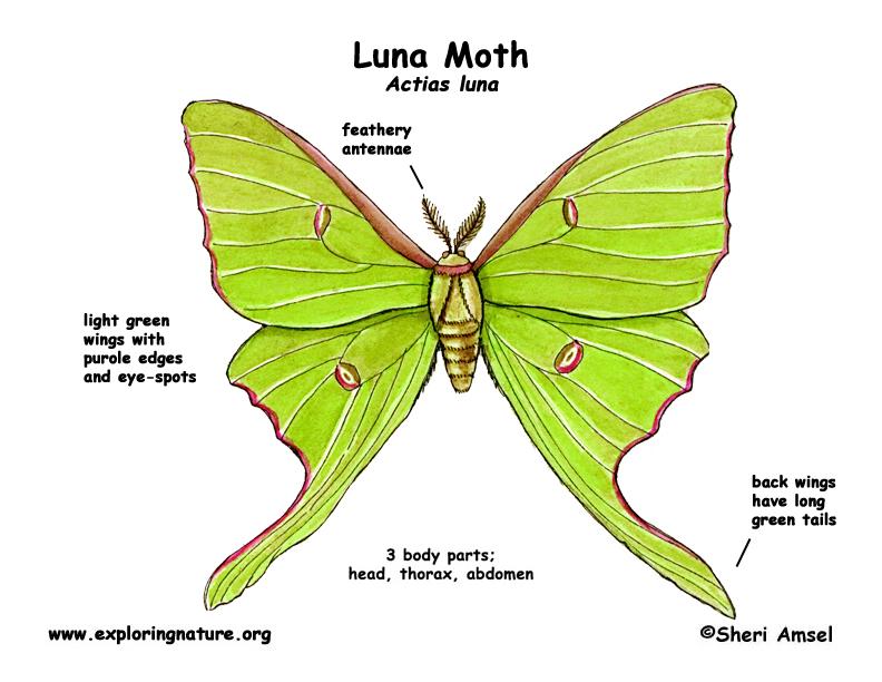Moth (Luna)