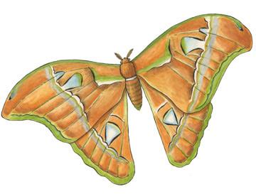 Moth (Atlas)
