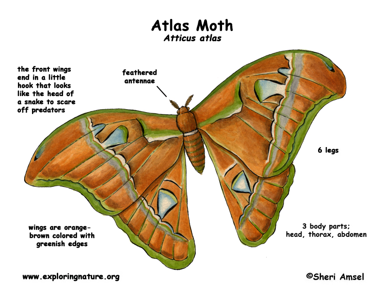 Moth (Atlas)