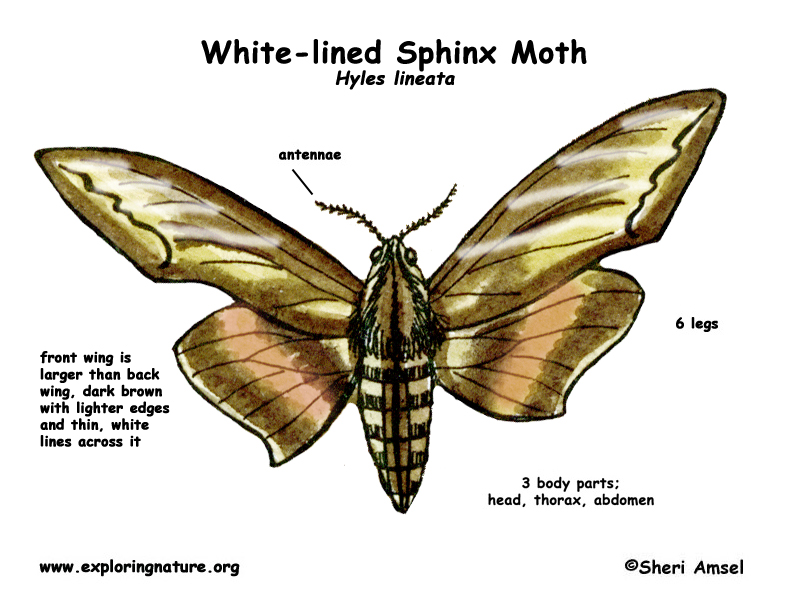 Moth (White-lined Sphinx)