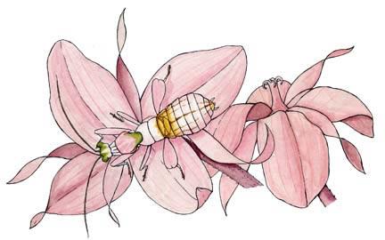 Praying Mantis (Orchid)