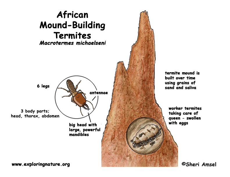 Termite (African Mound-building)