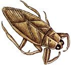 Water Bug (Giant)