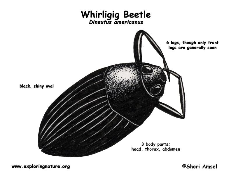 Beetle Reproduction Whirligig Beetle