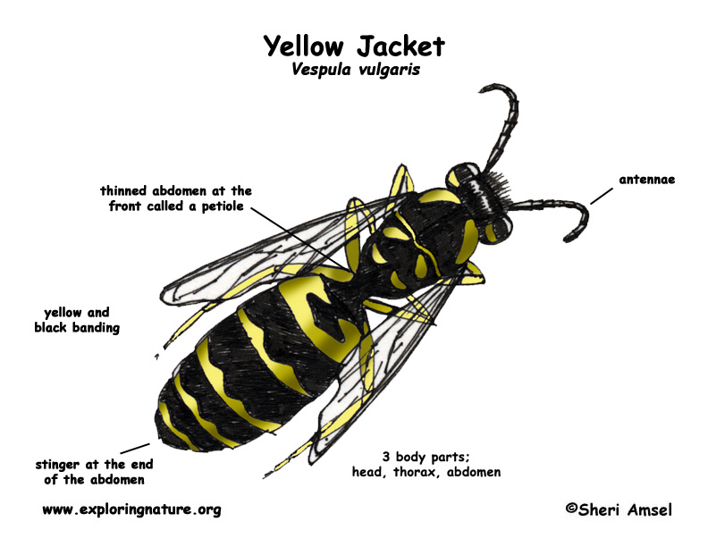 Diagrams Of Yellow Jackets Explore Schematic Wiring Diagram